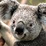 Avatar Koala_Noodle